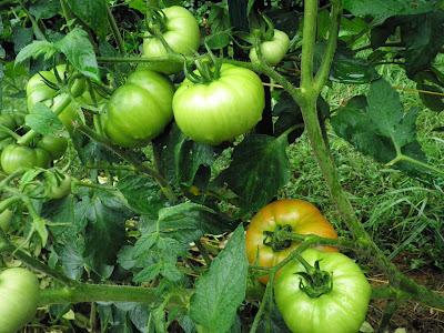 Clusters of Beefsteak tomatoes