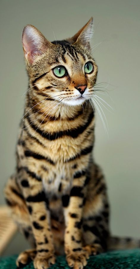 10 Cutest Cat Breeds