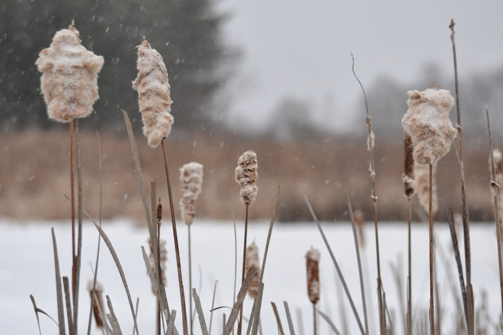 Cattails beside the pond on a cold winter day