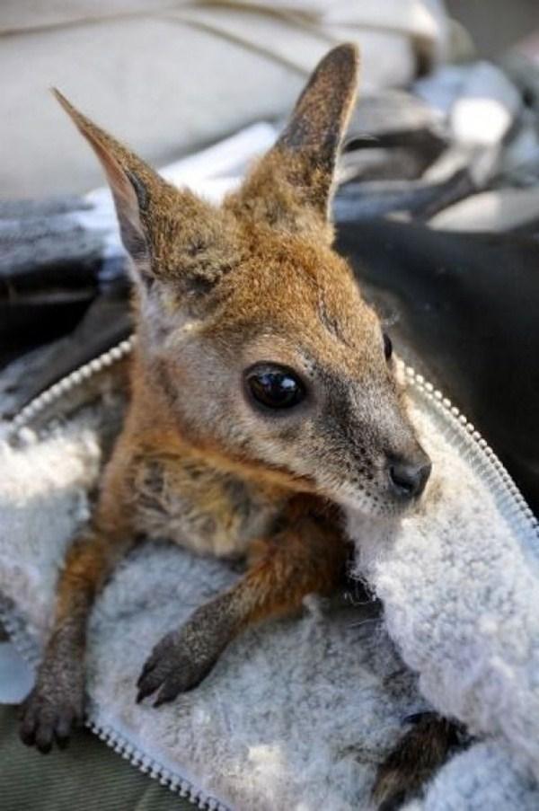 baby kangaroo, funny animal pictures, animal pics