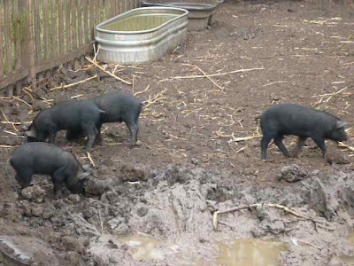 Piglets by Mud Pit