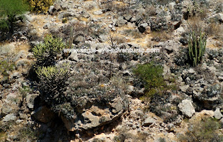 Hechtia zamudioi canyon