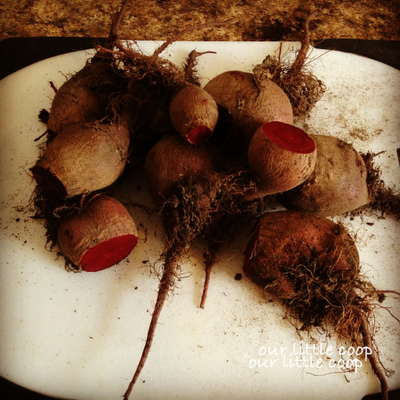 beets from urban garden