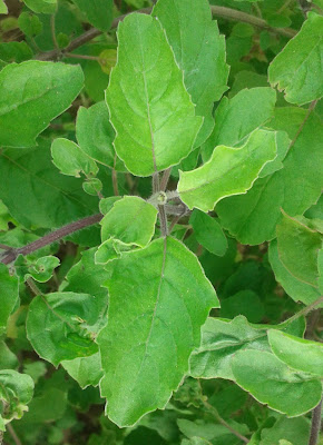 Holy Basil (Ocimum Tenuiflorum) Overview, Health Benefits, Side effects