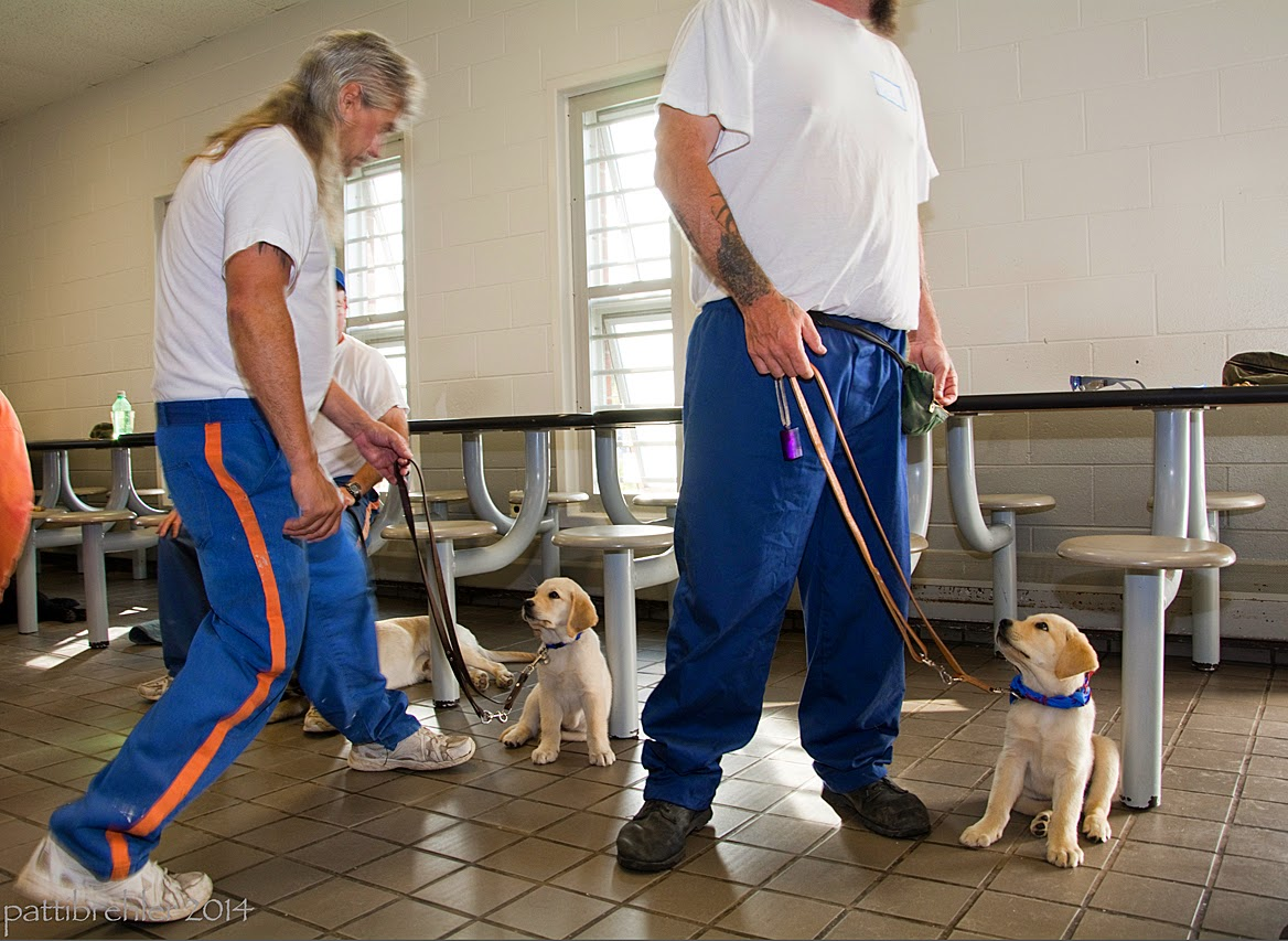 Two men wearing blue prison pants and white t-shirts are standing with two small yelow lab/golden retriever puppies. The man on the left is stepping toward his puppy, holding his leash with his left hand. The man is looking at the puppy. The puppy is sitting and looking at the man. The man on the right's head is not visible. He is standing a step away from his sitting puppy (which is the same breed as the other puppy), and he is holding the leash with his right hand. The puppy is looking up at the man. In the background are steel lunch tables with attached stools, a white brick wall and two windows.