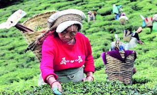 Tea garden workers in darjeeling hills