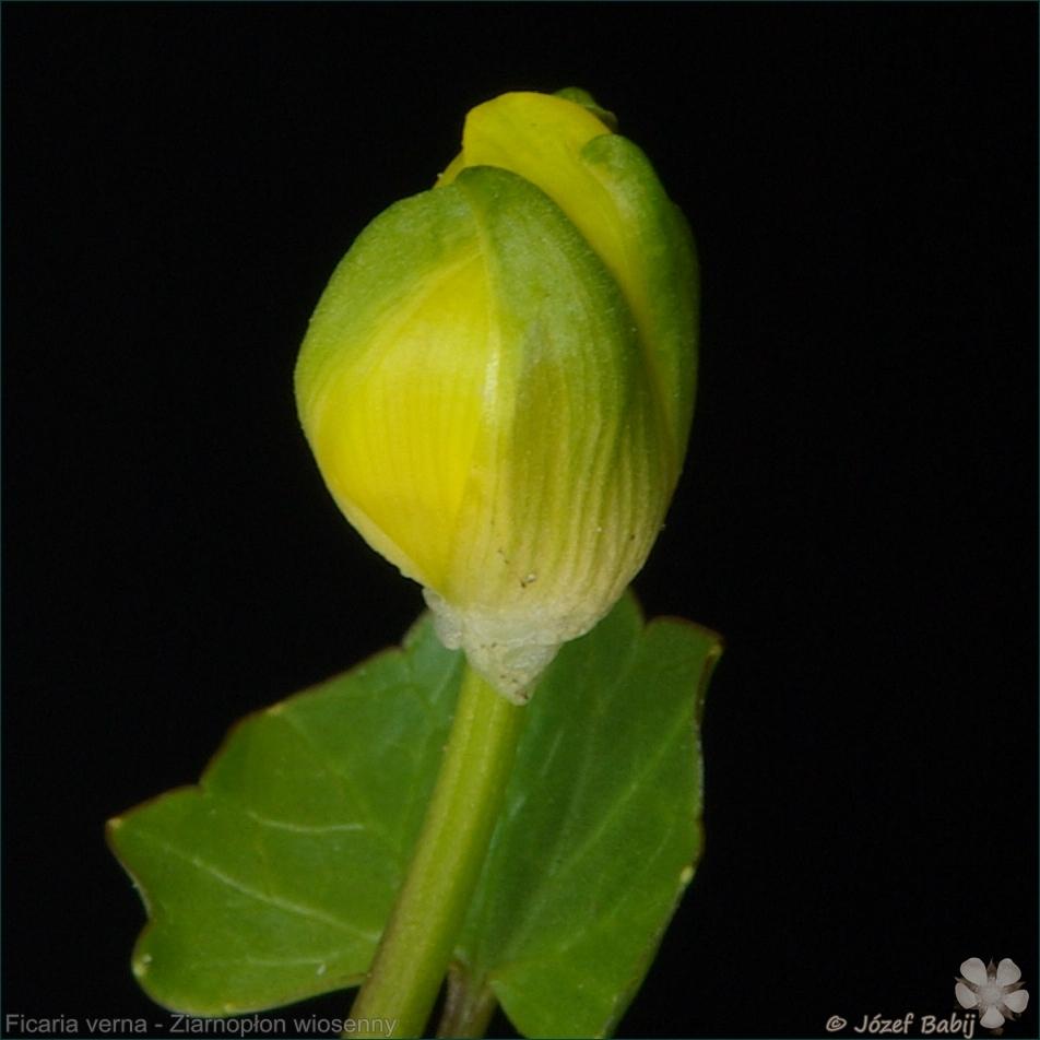 Ficaria verna - Ziarnopłon wiosenny pąk kwiatowy