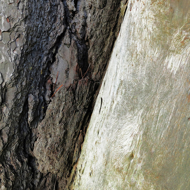 Bare white wood and dark bark on trunks of same tree