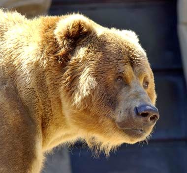 http://www.statesymbolsusa.org/Montana/animal_grizzlyBear.html