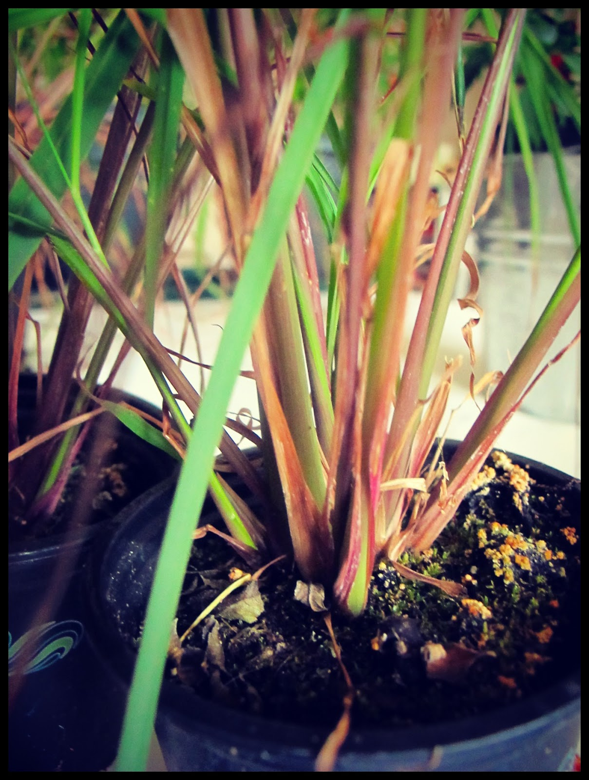 How to grow lemon grass from seed - Lemon Grass Is Well Worth Growing In The Uk Even Outside Once Established The Plants Will Grow Vigorously Giving You Fragrant Leaves For Flavouring