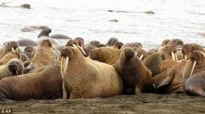 Dampak Pemanasan Global, 35 Ribu Walrus Cemas Datang Ke Pantai Alaska