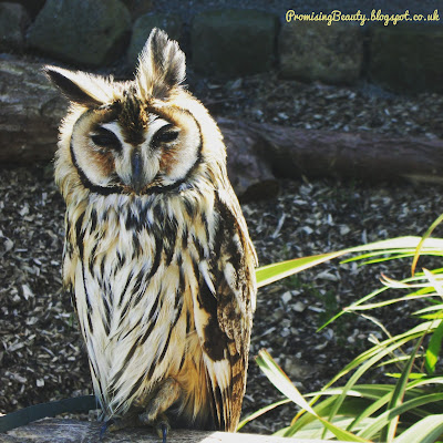 A striped owl at an animal anctuary in Llandudno, North Wales on a british seaside holiday. Beautiful owl at the animal and owl sanctuary.