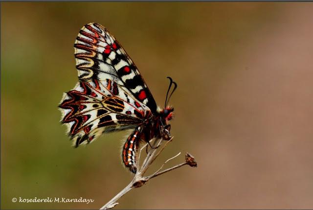 Güneyli fisto kanat altı fotoğraflarından biri