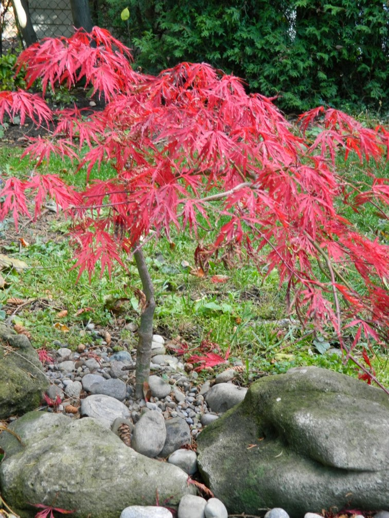Acer palmatum Crimson Queen Japanese maple autumn colour by garden muses-a Toronto gardening blog