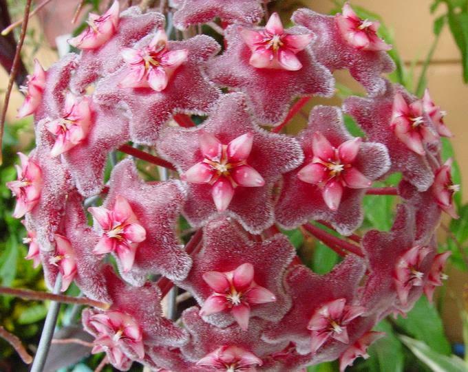 Flower homes hoya flowers for Plantas arbustos de hoja perenne
