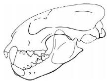 craneo de Proailurus