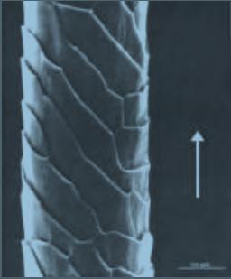Fibra de lana al microscopio