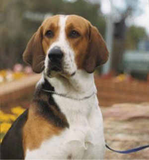 American Fox Hound Dog