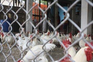 Aturan berpakaian saat di dalam kandang ayam