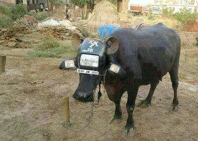 Funny buffalo waer Bike doom, number plate, indicators, Funny Animals, Funny buffalo pics, Modern animal bike, Animal humiliations, Indian buffalo, Play with buffalo, beauty buffalo with helmet and looks like motor cycle