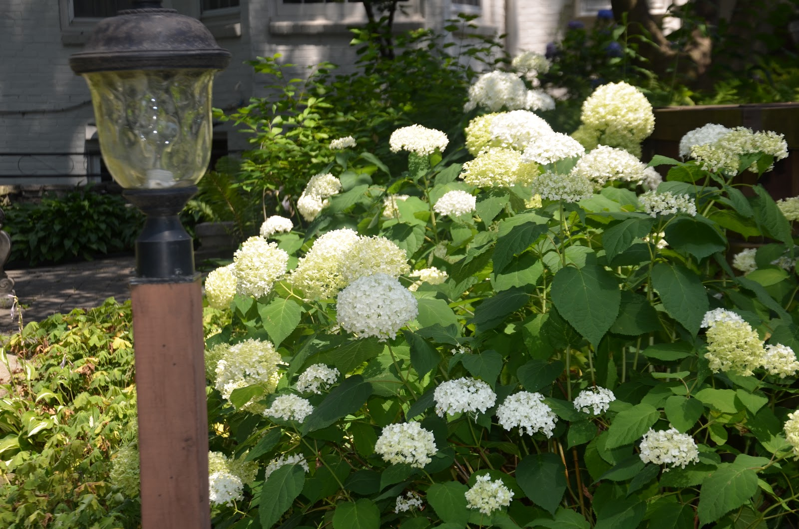 zone five and a half the incrediball hydrangea from. Black Bedroom Furniture Sets. Home Design Ideas