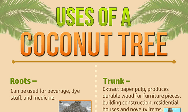 coconut tree and its uses