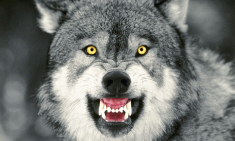 Wolf pics cause im bored :D: Another Growling Wolf