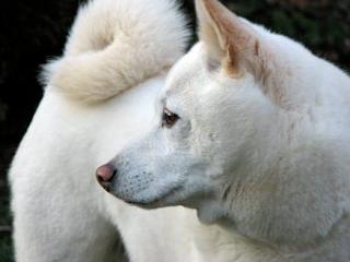 White Shib Inu