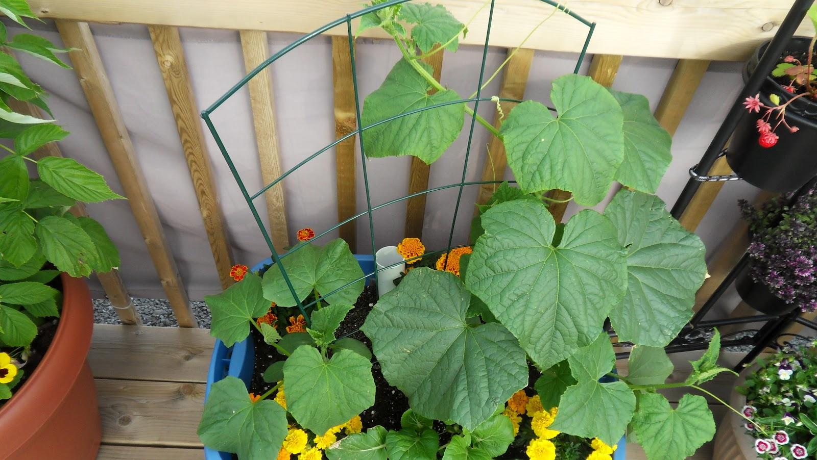 Planter des concombres - Comment planter les courgettes ...