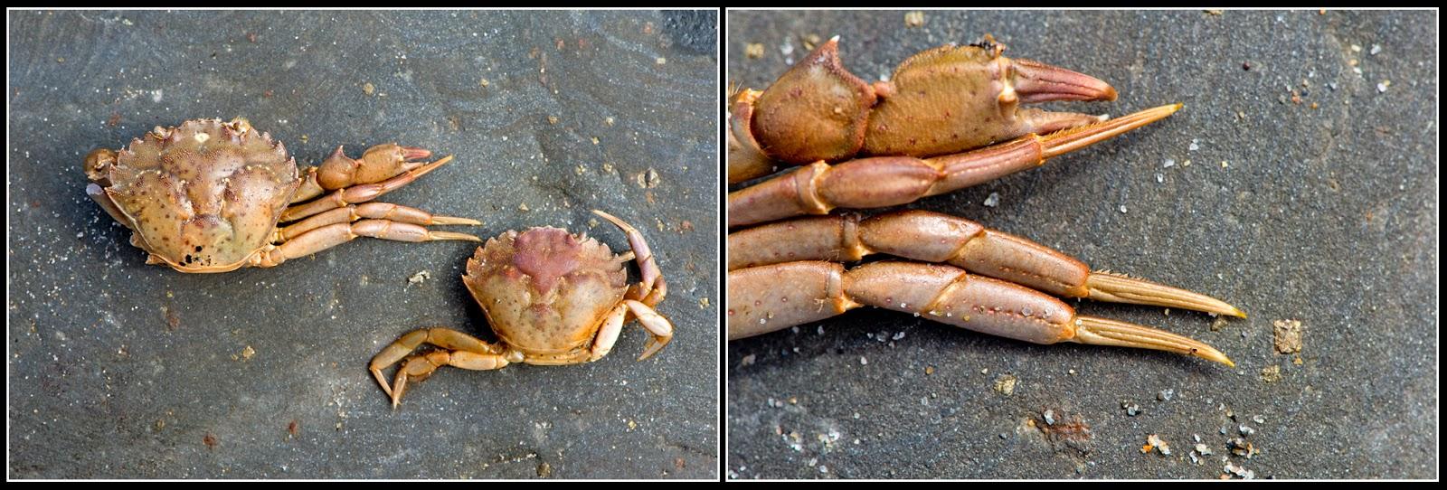 Nova Scotia; Hirtle's Beach; Beach; Crab