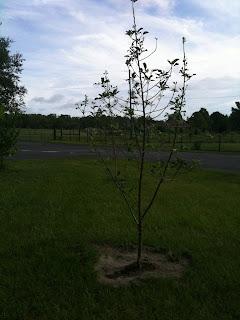 self pollinating apple tree