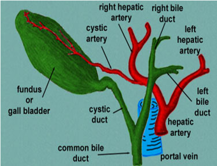 MBBS Medicine (Humanity First): The Gallbladder and bile ducts