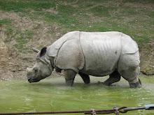 Rinoceros Sondaicus