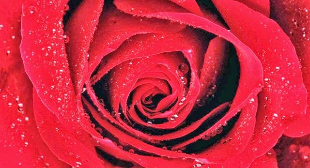 Happy rose day 2015