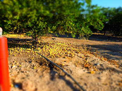 Citrus Grove: Fruit Under a Tree