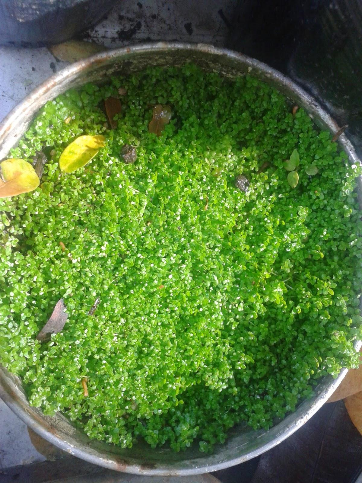 How to grow aquarium plants for Koi fish tank setup