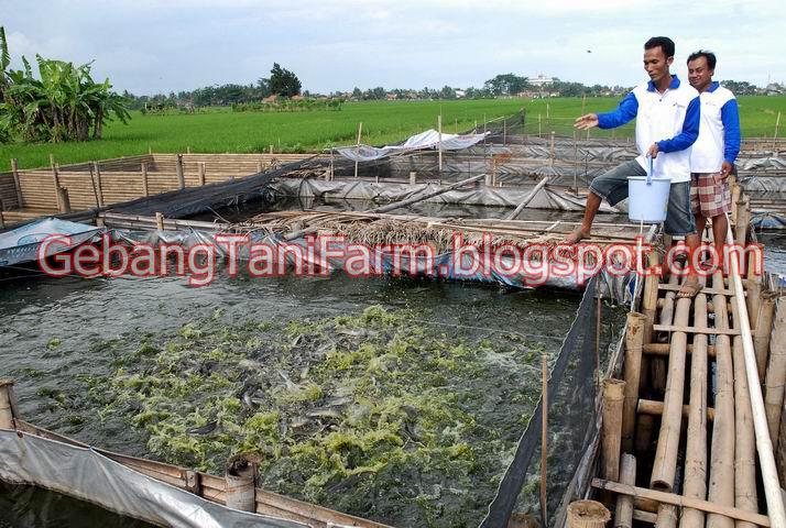 harga pakan ikan pelet khususnya ikan lele membuat para peternak lele