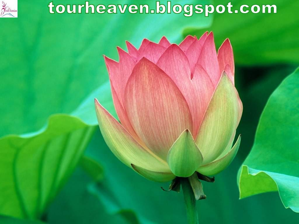 Lotus National Flower Image Collections Fresh Lotus Flowers