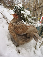 Gray and beige chicken in the snow