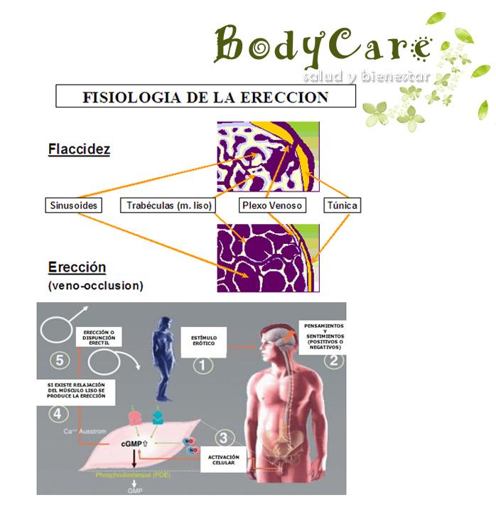 Anatomía del pene - Mecanismo de erección ~ Salud y bienestar