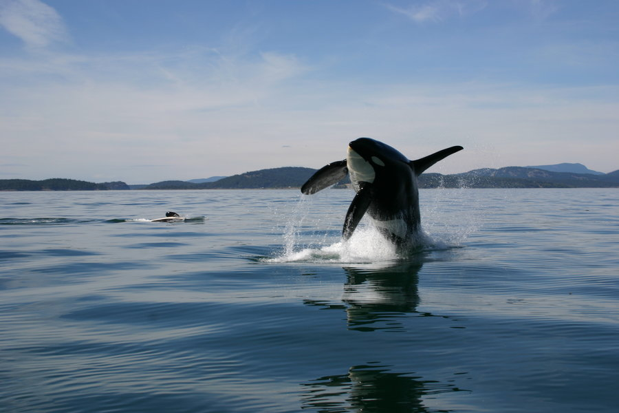 Eightton orca leaps 15ft into the air to finally capture