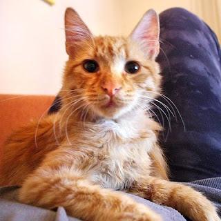 Βρέθηκε στις 13/10/15 στην Αγία Βαρβάρα, γατούλης, σκούρο πορτοκαλί, φουντωτός με αλεπουδίσια ουρά, πολύ αδύνατος και με γραντζουνιές