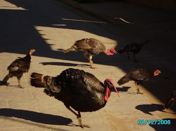 Turkey family