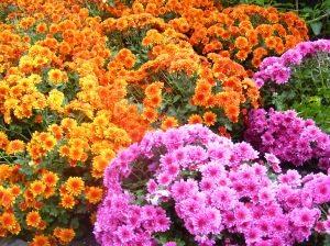 bunga potong segar aster murah
