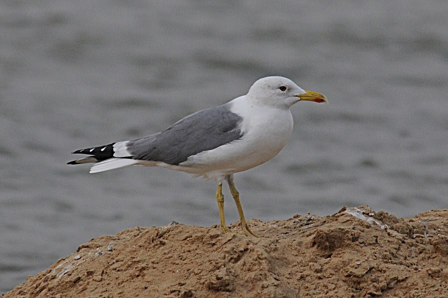Adult sea gull you cannot