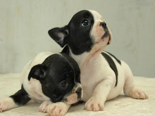 filhotes-french-bulldog
