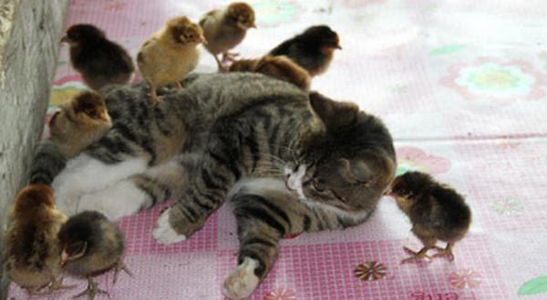 ヒヨドリの雛と猫