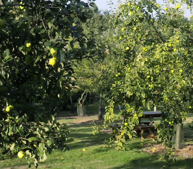 Apple trees with unripe fruit catching morning sun