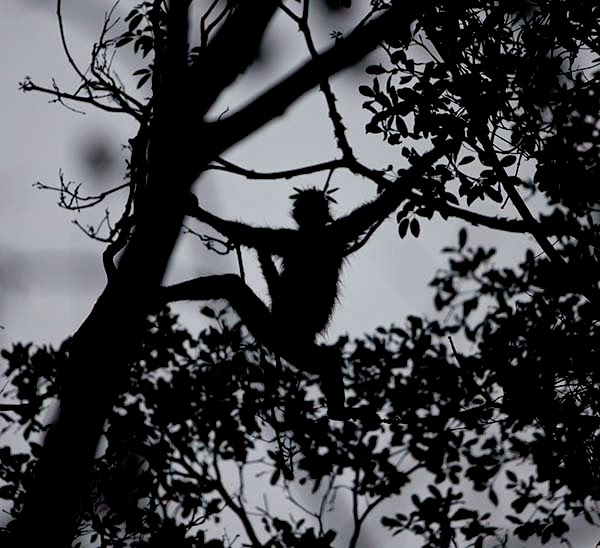 Un mono araña desplazandose por la selva. Los monos no son egoistas y comparten su alimento con los cerdos salvajes, los roedores y muchos otros animales que no pueden subir a los árboles, tirándoles los frutos mordidos.