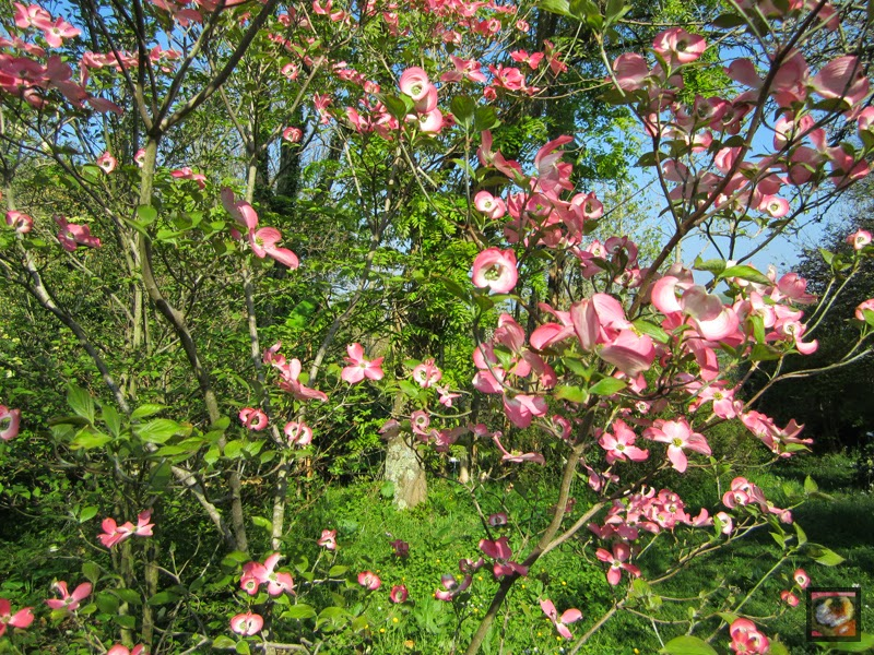 Cornus florida 'Cherokee Chief' (cornejo de flor, sanguiñuelo florido)